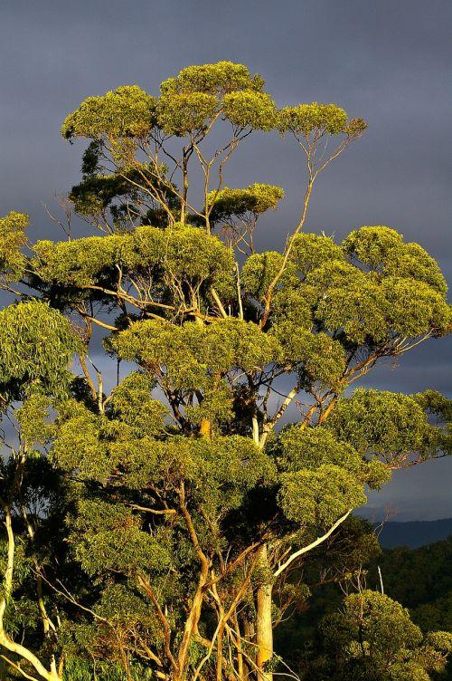 eukaliptas,gumos medis,medis,miškas,australia,žalias,pilkas dangus