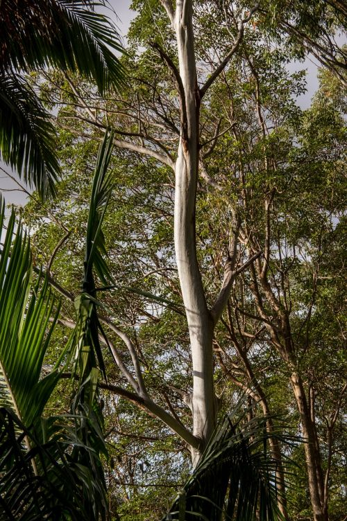 eucalyptus gum tree trees
