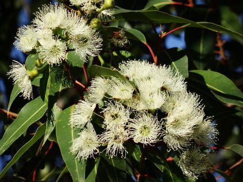 eucalyptus flower australian eucalyptus flowering eucalyptus branches