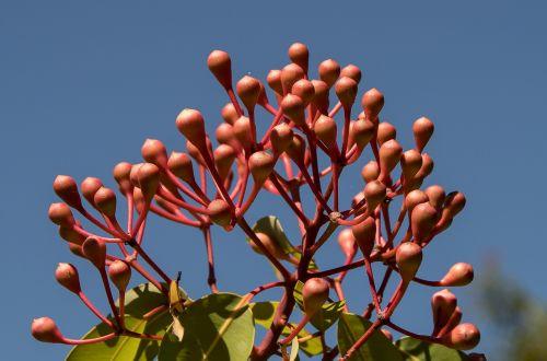 eukalipto žiedpumpuriai,pumpurai,žiedas,australian,rožinis,medis,gumos medis,mėlynas dangus