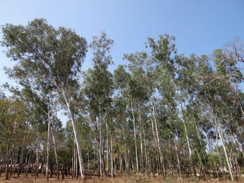 eucalyptus forest dharwad india