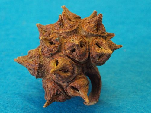 eucalyptus lehmannii limestone marlock morning star fruit