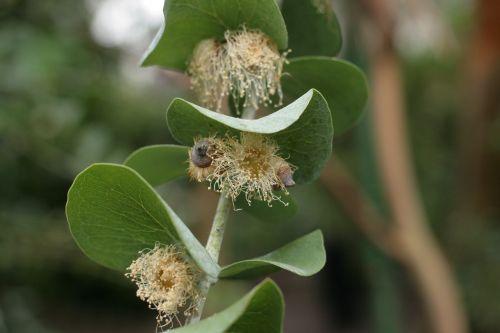 eucalyptus pulverulenta pollinated eucalyptus