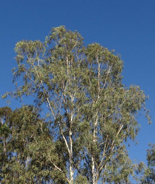eucalyptus tree tree nilgiri tree