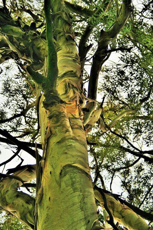 eucalyptus tree tree trunk