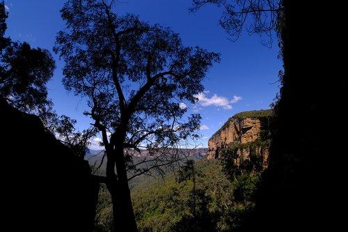 eucalyptus tree  tree  eucalyptus