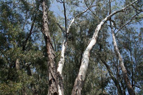 Eucalyptus Tree Trunks
