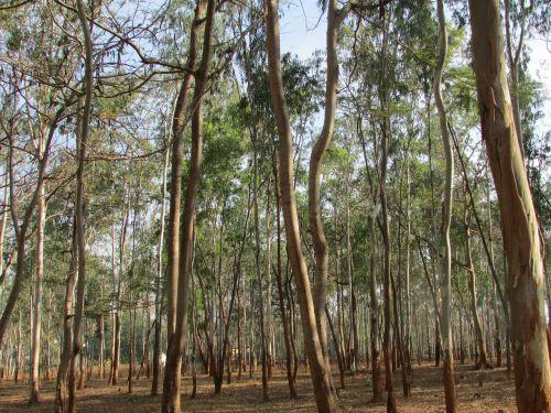 eucalyptus trees eucalyptus dharwad