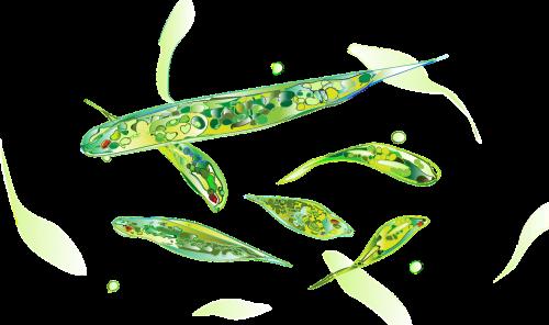 euglena microorganisms nutrition