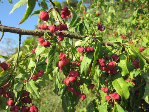 euonymus europaeus spindle european spindle