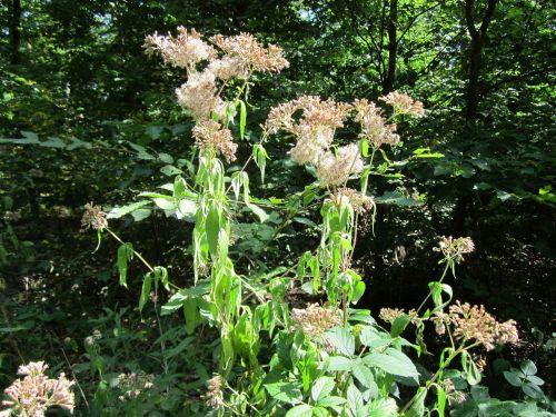 eupatorium cannabinum hemp-agrimony holy rope