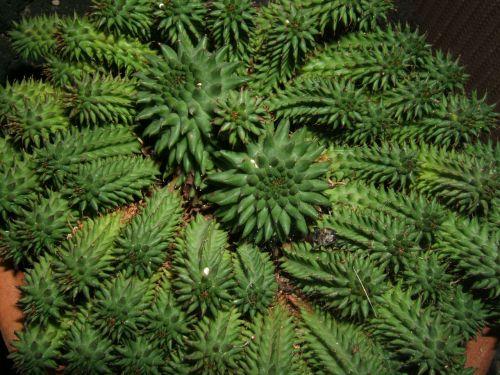 euphorbia succulent plant