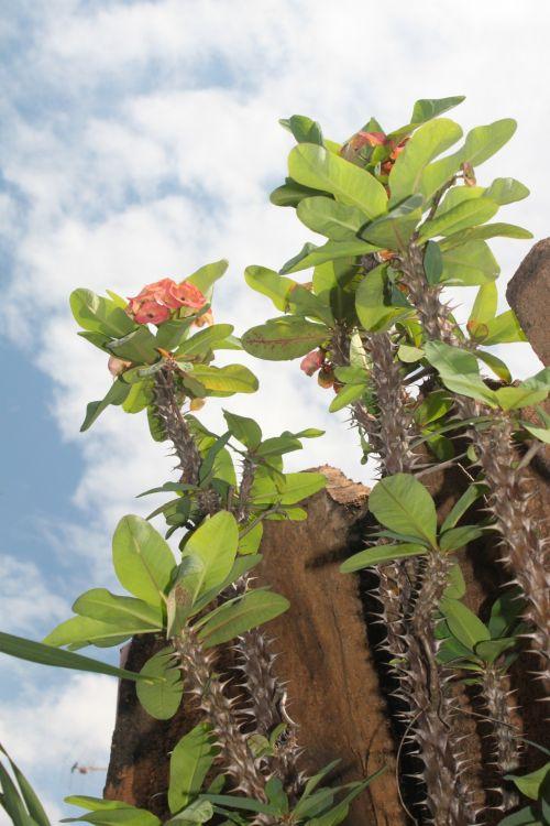 Euphorbia In Jogjakarta