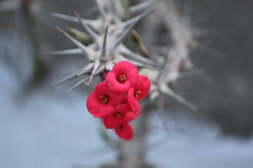 euphorbia milii euphorbia splendens crown of thorns