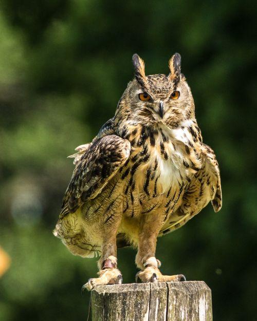 eurasia eagle owl eagle-owl bird