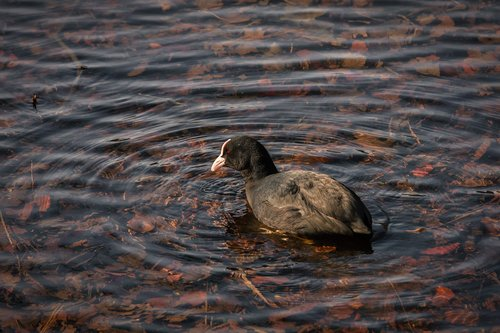 eurasian coot  lake  bird