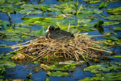 eurasian coot nest bird
