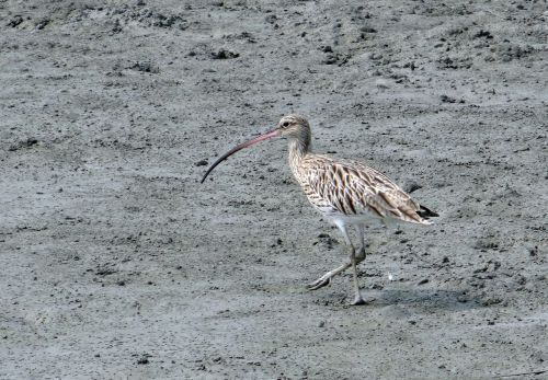 eurasian curlew numenius arquata bird