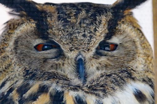 eurasian eagle owl owl bird