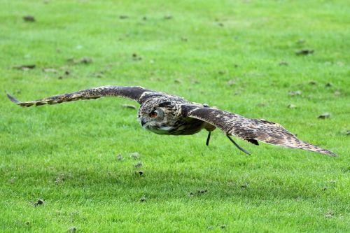 eurasian eagle owl eagle owl owl