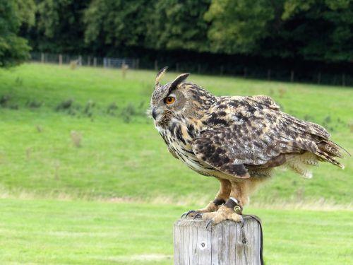 eurasian eagle owl owl eurasian
