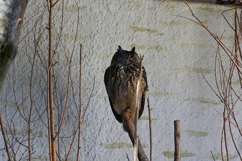 eurasian eagle owl  owl  bird