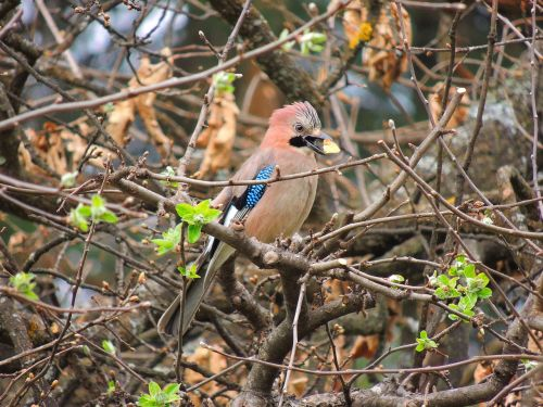 eurasian jay birds flight