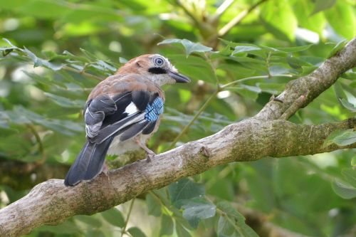 eurasian jay summer feed