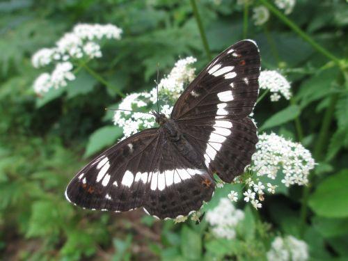 eurasian white admiral white admiral butterfly