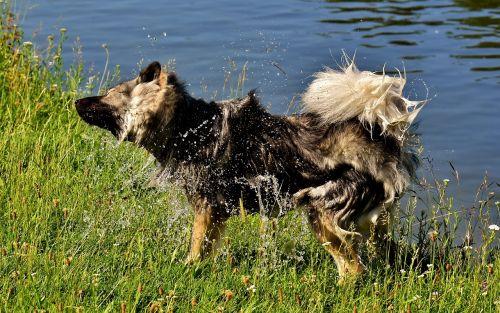eurasai,šlapias,šlapūs kailiai,išpurtyti,šuo,lenktynės,šunų veislė,naminis gyvūnėlis,kailis,mielas,žaisti,pieva
