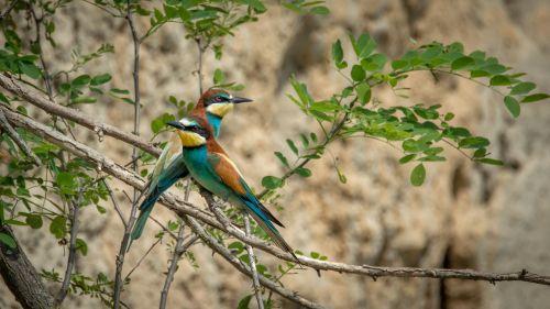 european bee-eater merops apiaster bird