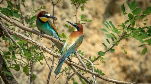 european bee-eater bird birds