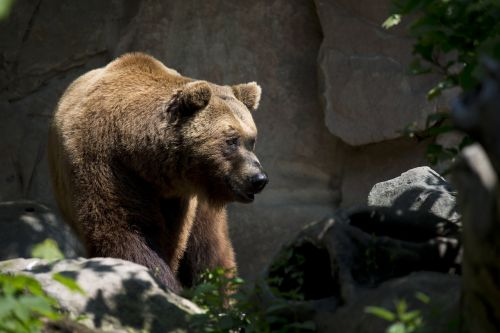 european brown bear wildlife ursus