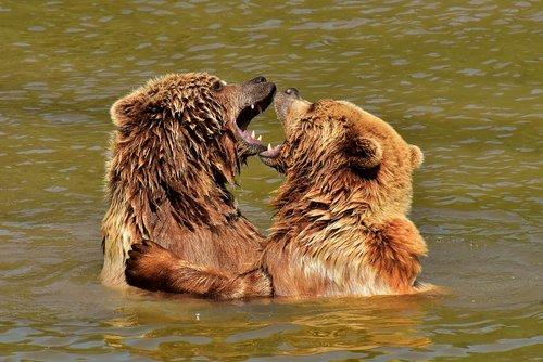 european brown bear  play  fur