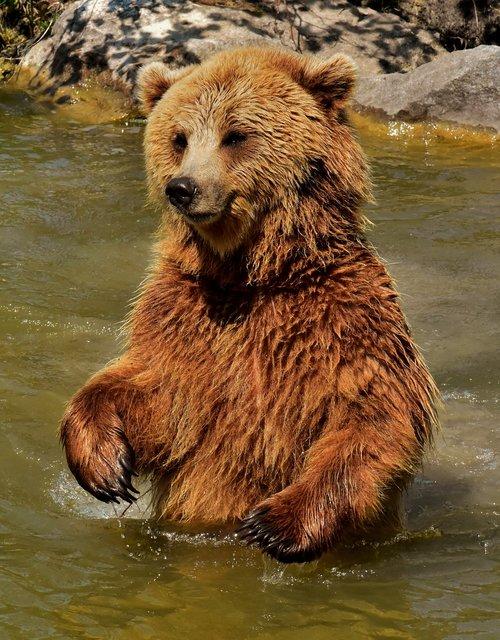 european brown bear  brown bear  nature park