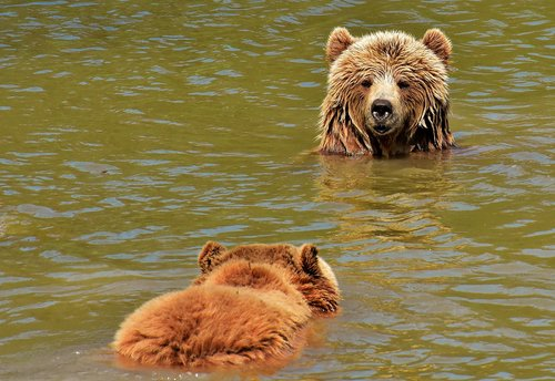 european brown bear  play  together