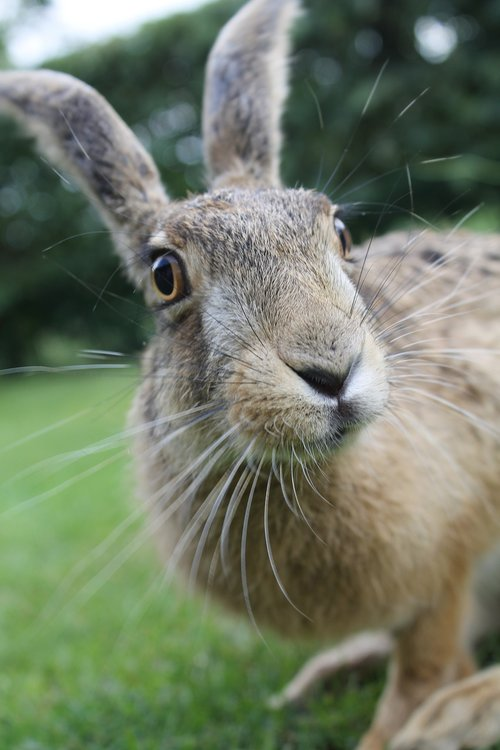 european brown hare  young hare  france