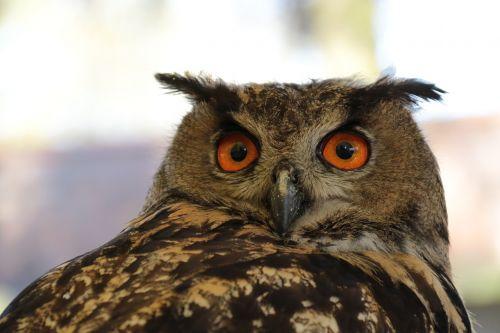 european eagle owl bubo owl