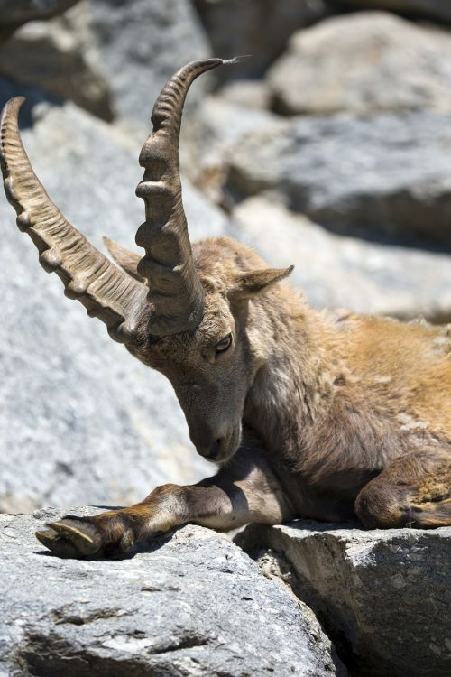 european gemse relaxing large antlers horns