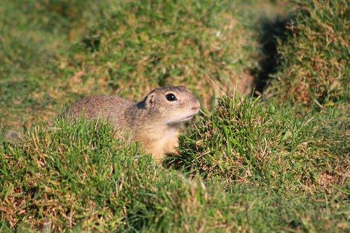 european ground squirrel  rodent  mammal