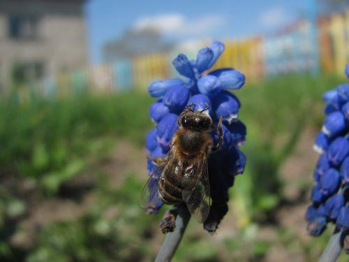 europietiškas medus bites,gėlė,makro,vabzdys,žydėti,žiedas,sodas,žiedadulkės,medus,pūslelinis hiacintas,muscari comosum