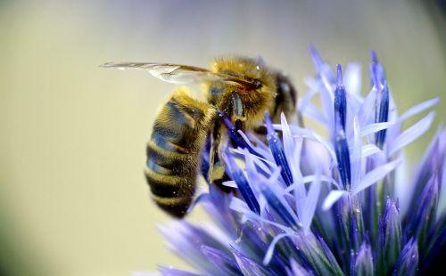 european honeybee pollinator insect