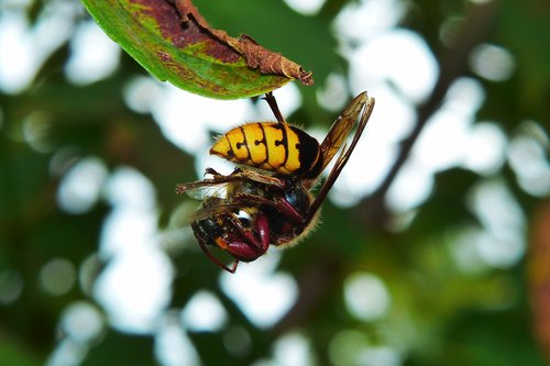 european hornet  insect  victim