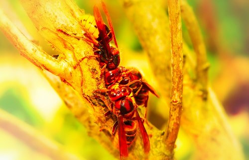 european hornet  insects  branch