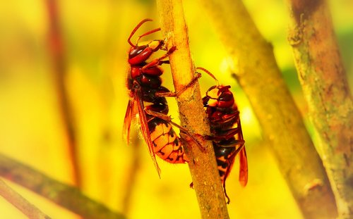 european hornet  insects  work