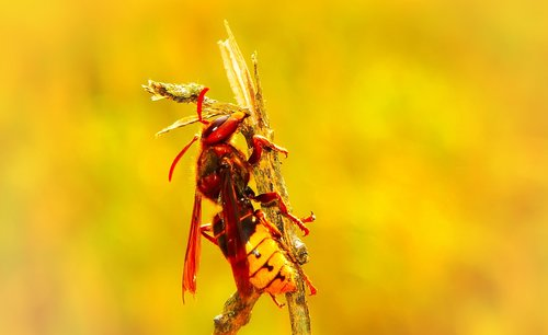 european hornet  insect  work