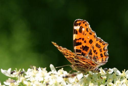 european map araschnia levana european map butterfly