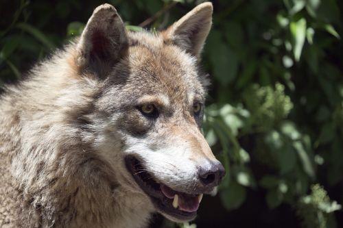 european wolf alpha male intelligent