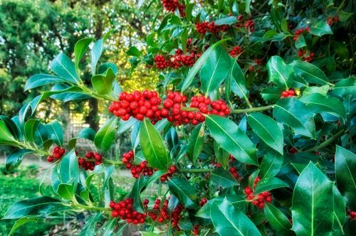 europeon holly plants blooms
