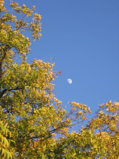 mėnulis, sezonai, ruduo, kritimas, medžiai, lapkritis, texas, vakaro rudens mėnulis